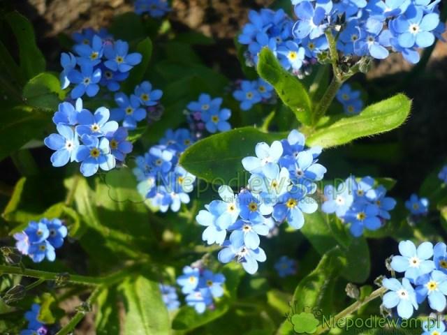 Niezapominajka leśna kwitnie wdrugiej połowie wiosny. Kwiaty są najczęściej niebieskie. Fot.Niepodlewam