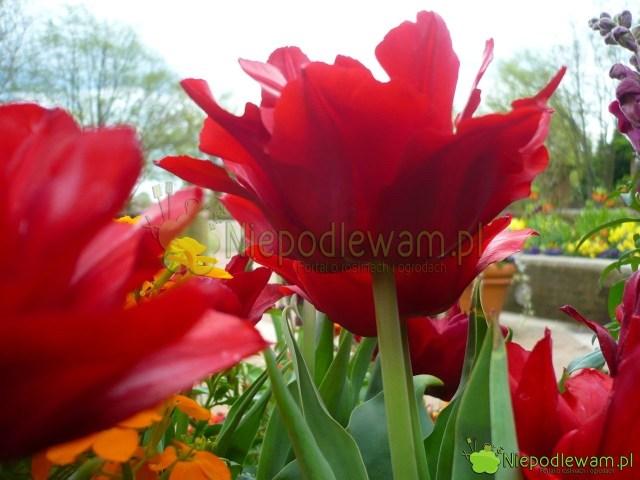 Kwiaty tulipanów Uncle Tom są eleganckie zprofilu. Fot.Niepodlewam
