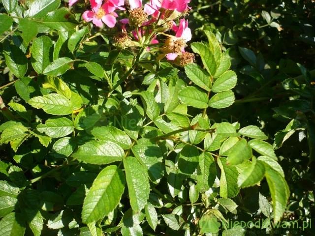 Liście róży Tommelise. Fot.Niepodlewam