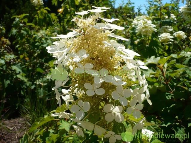 Kwiaty hortensji dębolistnej Pee Wee delikatnie pachną. Fot.Niepodlewam