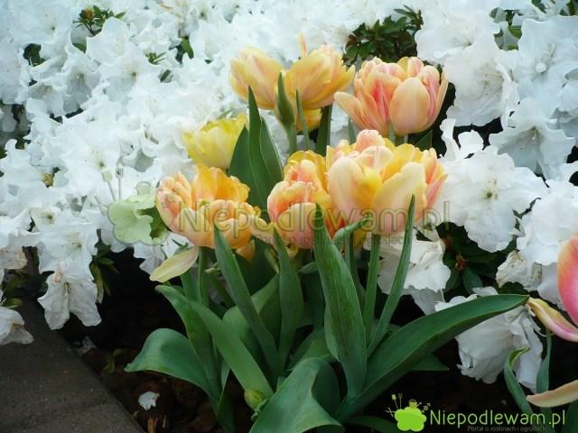Tulipan Foxy Foxtrot wspaniale pachnie. Wkolorystyce jego kwiatów przeważy żółty wróżnych odcieniach. Jest cieniowany barwą różową. Fot.Niepodlewam