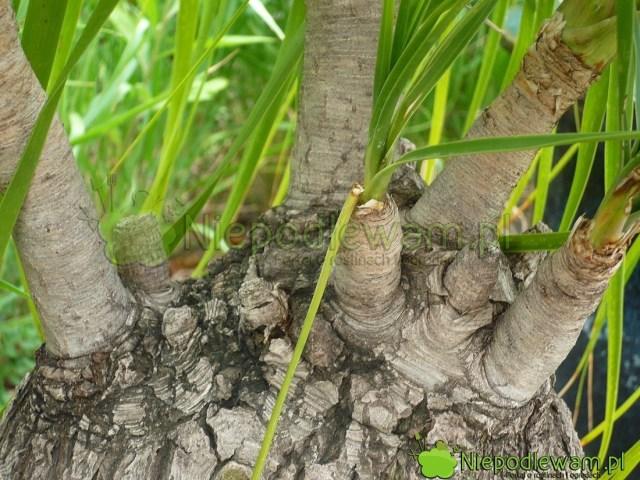 Z takich pędów noliny można zrobić sadzonki. Fot.Niepodlewam