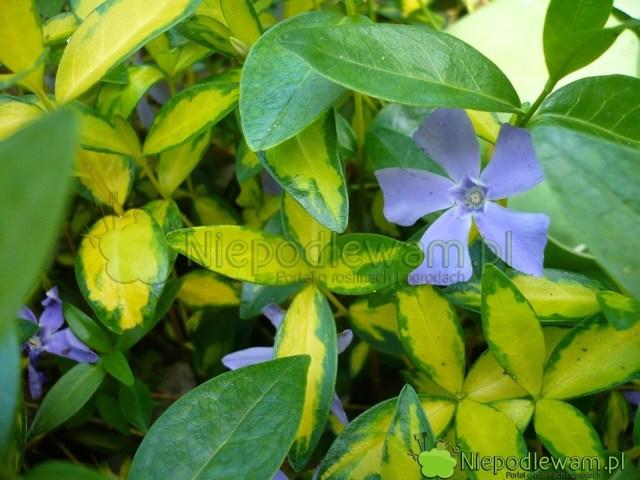 Kwiaty barwinków Illumination są niebieskie. Fot.Niepodlewam