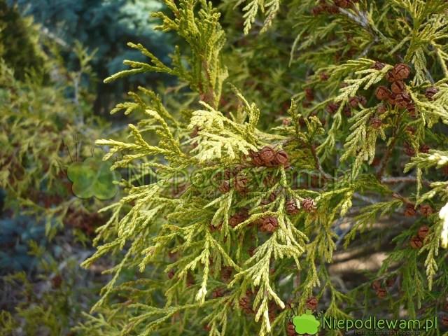 Zimą gałązki cyprysików groszkowych Golden Mop zielenieją. Tonaturalne zjawisko. Szyszki mają wielkość grochu. Fot.Niepodlewam