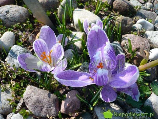 Krokus wiosenny Pckwick tostara odmiana. Kwiaty są fioletowe. Fot.Niepodlewam