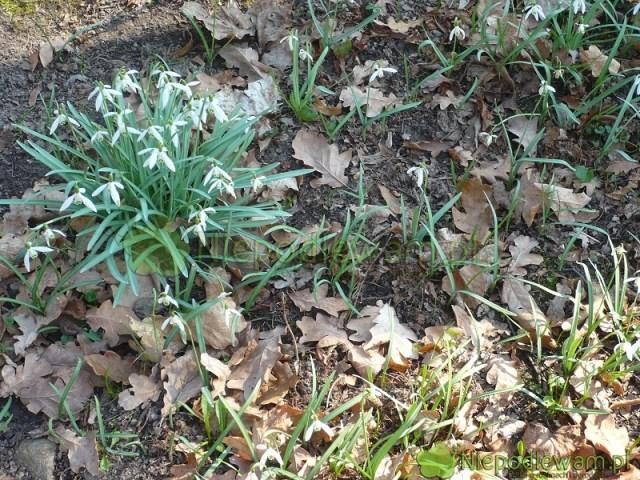 Śnieżyczki przebiśniegi najlepiej rosną wziemi zpróchnicą zopadłych liści. Przynajmniej część znich warto zostawić jesienią. Fot.Niepodlewam