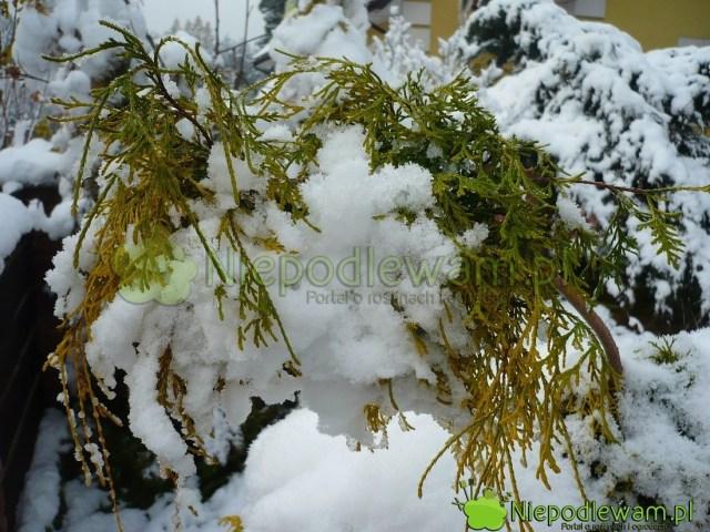 Cyprysiki groszkowe Filifera Aurea bardzo dobrze znoszą polskie zimy bezokrycia. Fot.Niepodlewam