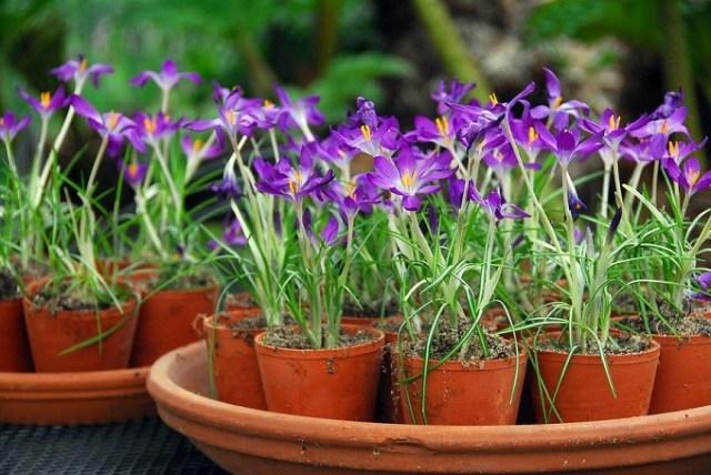 Krokus Tommasiniego Whitewell Purple. Fot.iBulb