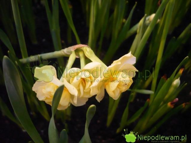 Trzy kwiaty najednym pędzie - takczęsto kwitną narcyzy Yellow Cheerfulness. Fot.Niepodlewam