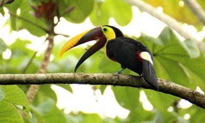 Toekan in Costa Rica