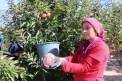 Türkiye'de ilk 3'te olan Niğde elmasının hasadı başladı
