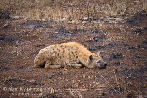 Nigel Ivy Photography - Lazy spotted Hyena chilling