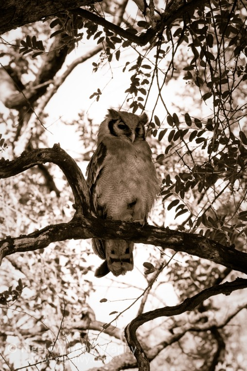 Nigel Ivy Photography - Giant Eagle Owl chilling in the Kruger