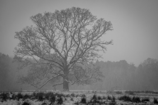 Big old tree in the snow storm that we had here in Belfast earlier in the week.