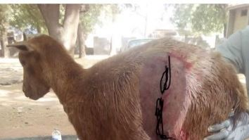 Goat Gives Birth To Strange Kid With A Human-shaped Skull In Kebbi (Graphic Photos)