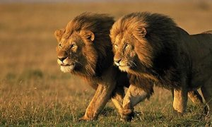 Lions Escape From Park in South Africa