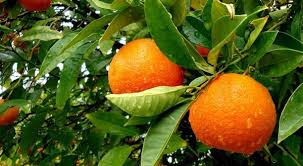 Orange Farming in Nigeria: Step by Step Guide