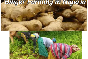 ginger farming in nigeria step by step guide