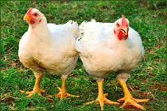 Broiler Farming in Nigeria: Step by Step Guide