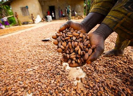 cocoa producing states in nigeria