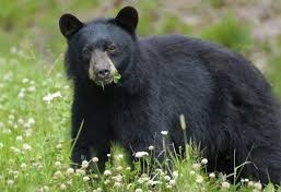 Fully grown bear shot dead while feeding on Human remains