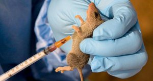 Lassa Fever: Can We Totally Get Rid Of Rat?