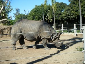 Rhino at the San Diego Zoo (c) AB Raschke