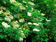 Elder tree in bloom