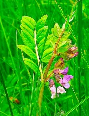 Vetch up close looks very much like individual wisteria or other leguminous flowers.