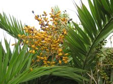 Sabtang endemic palm -- leaves are combed into fibres for making the traditional raincoat