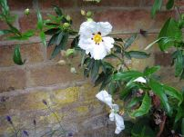 Cistus ladanifer, growing near a fruiting kiwi and a bay tree against a brick wall.