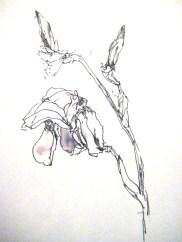 Berger Iris_0589