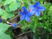 Lithospermum