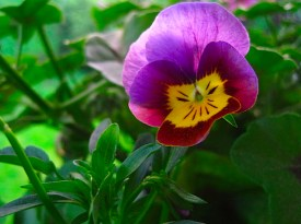 My pansies are quite cheeky!