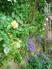 Westerland rose and campanula by the backgate.