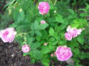 Even the smallest rose bush has outdone itself.