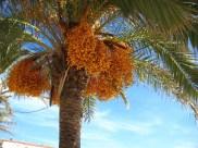 Ametlla date palm w fruit_1767