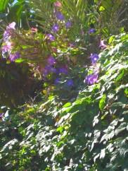 Ametlla wild morning glory blue_1761