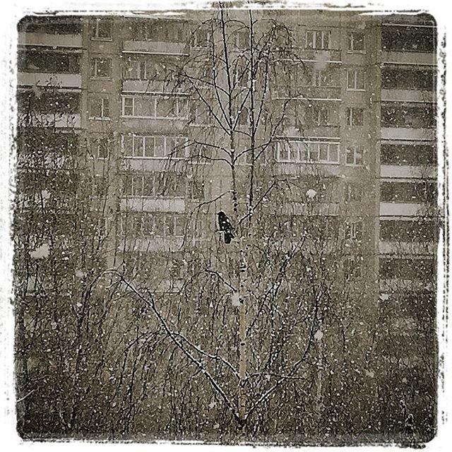 Одинокая заснеженная апрельская ворона
