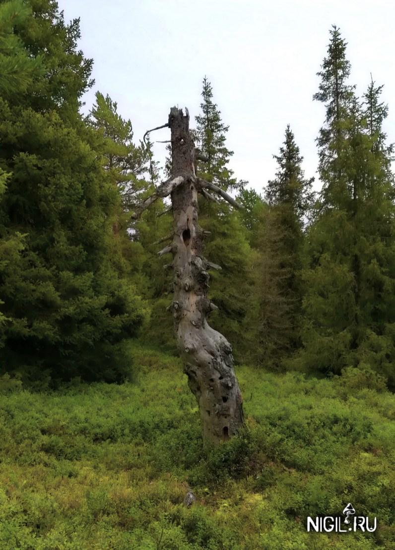 Просто сухое дерево