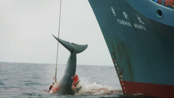 die-jagd-ist-wieder-eroeffnet-die-japanische-walfangflotte-faengt-und-toetet-wieder-wale