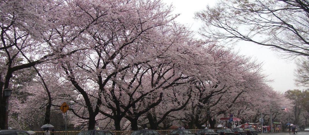 Kirschblüten blühen in Japan früher als gewöhnlich auf
