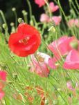 Poppies at Kurihama
