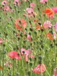 Poppy Sunday (6)