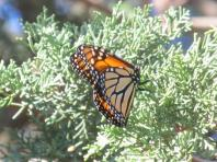 Monarch in Christchurch New Zealand