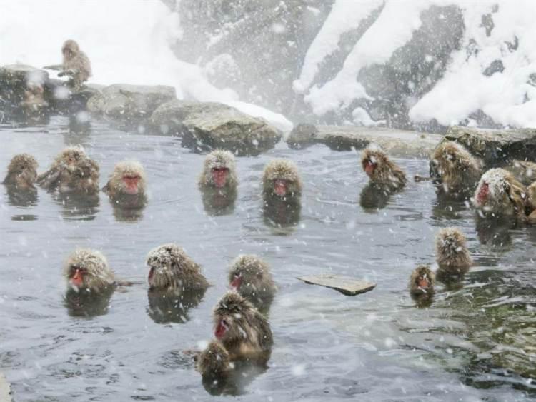 Jigokudani-singes