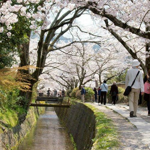 Les Sakura à Kyoto