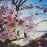 桜@和歌山市