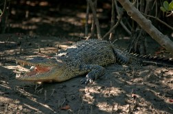 Salt water crocodile at Sundarbans.