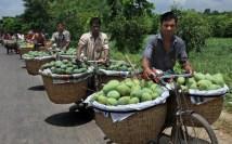 Transporting mango in bicycle